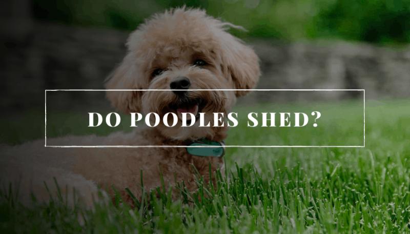 Do Poodles Shed?