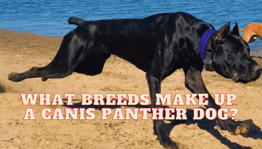 What breeds make up a Canis Panther Dog?
