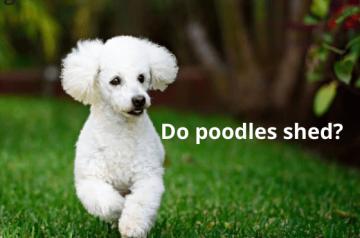 Do-poodles-shed