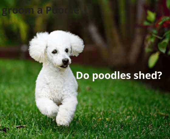 Do poodles shed