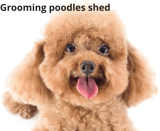 Grooming poodles shed