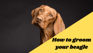 How to groom your beagle
