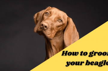 How to groom your beagle – Guideline for it's owner