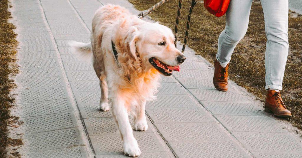 Should you walk a dog with degenerative myelopathy