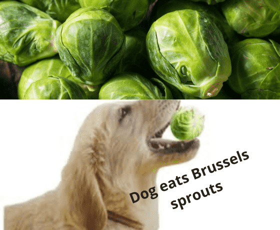 Dogs eat brussel sprouts.