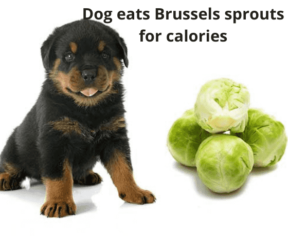 dog eats Brussels sprouts