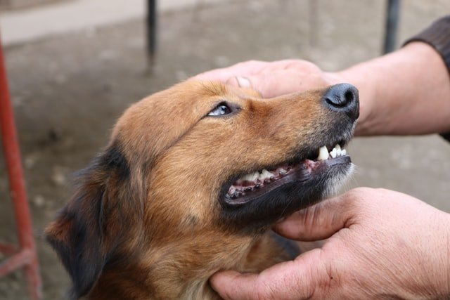 How to cure parvo without a vet