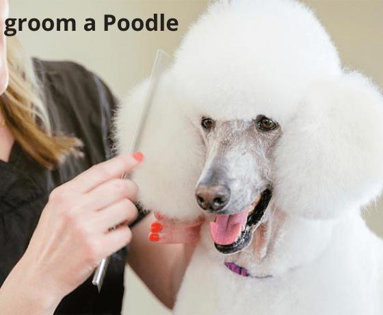groom a Poodle