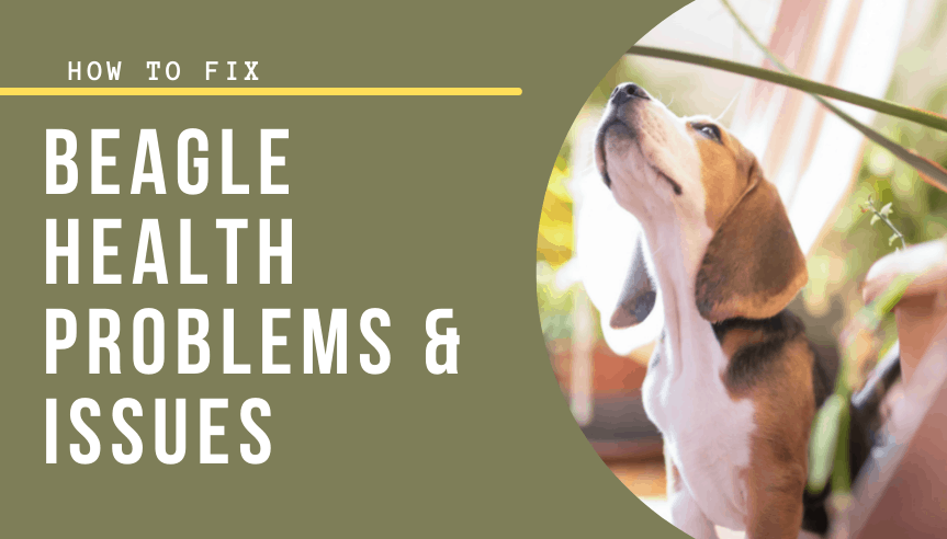 Beagle Health Problems & Issues