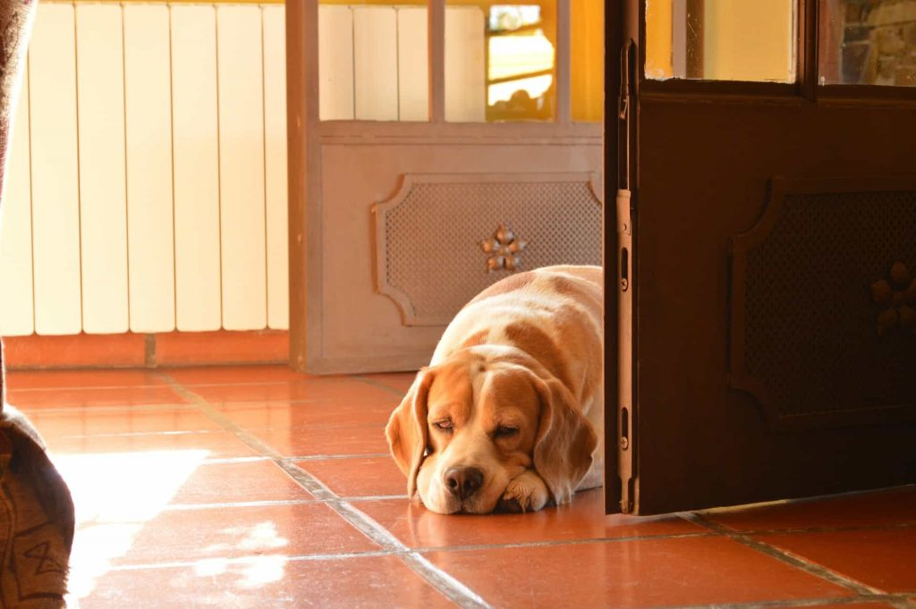 Beagle as an Apartment dog