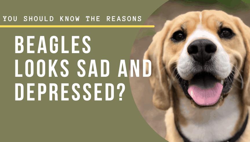 Beagle looks sad and depressed