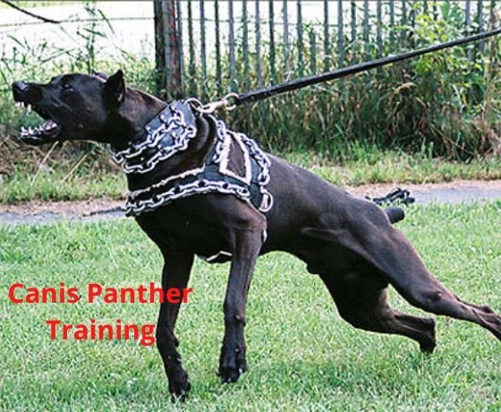 Canis Panther trainig