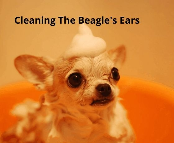 Cleaning The Beagle's Ears
