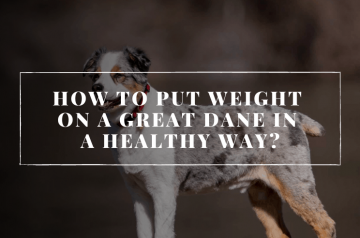How To Put Weight On A Great Dane In A Healthy Way?