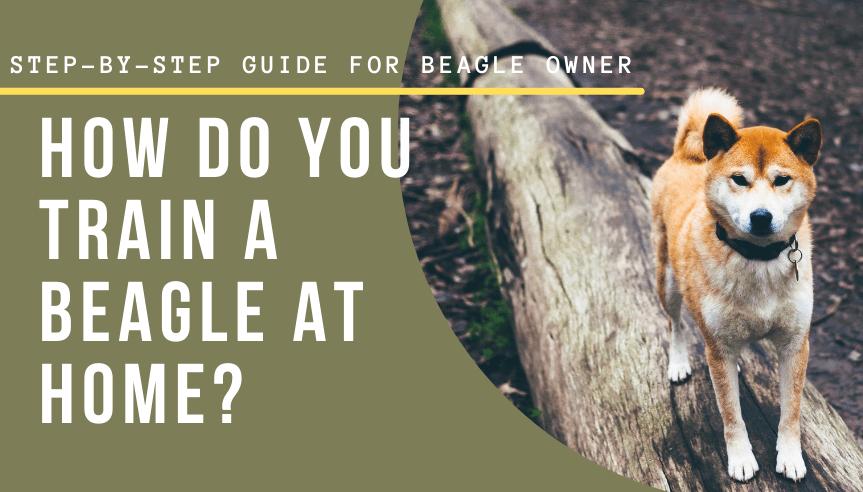 train a beagle at home