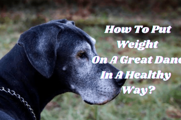 How to put Great Dane Weight in a Healthy Way