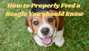 Feed a Beagle