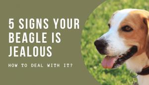 Beagle Is Jealous
