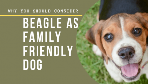 Why You Should Consider Beagle as Family Friendly Dog