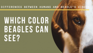 color Beagles see
