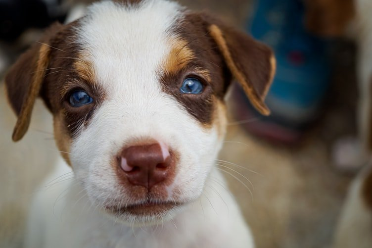 Can Beagles have blue eyes