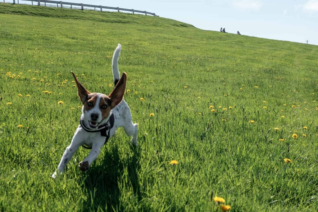 Why do beagles run away?