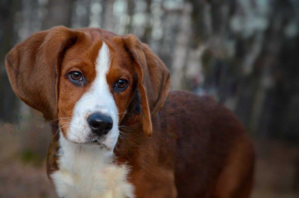 Beagles looks Sad and Depressed