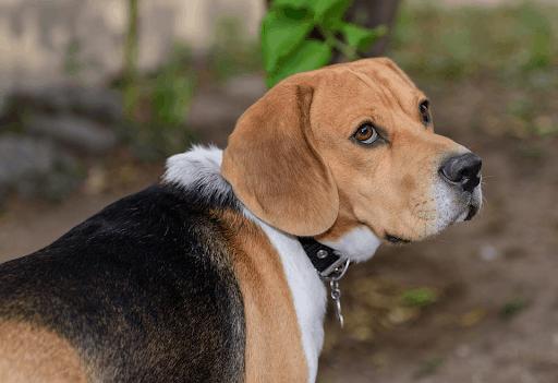 Jealousy Types of a Beagle