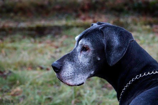 Reasons for Great Danes to look underweight