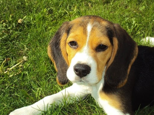 Beagles Loyal to the Whole Family
