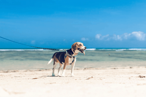 Do Beagles Demonstrate Loyalty
