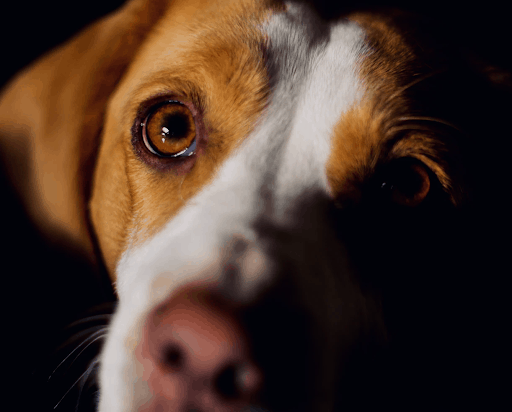 Beagles Good Family Dogs