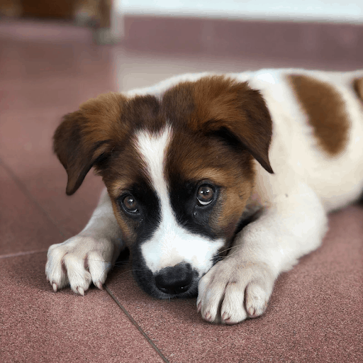 Why do Beagle Puppies Whine?