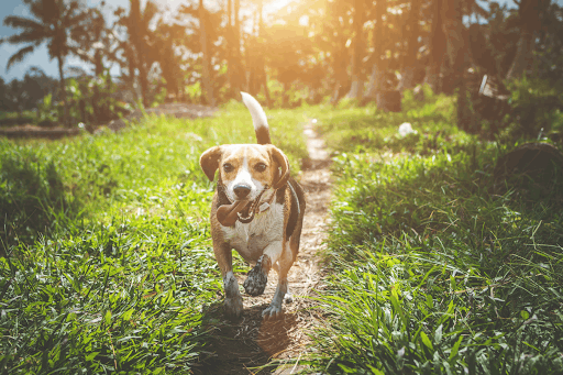 What Causes Beagles to Yawn?