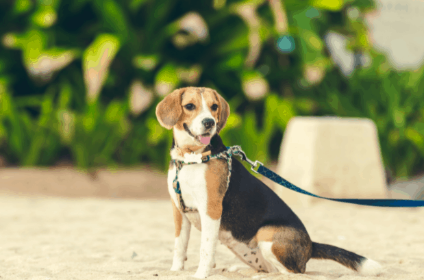 Beagle Coat Color Patterns