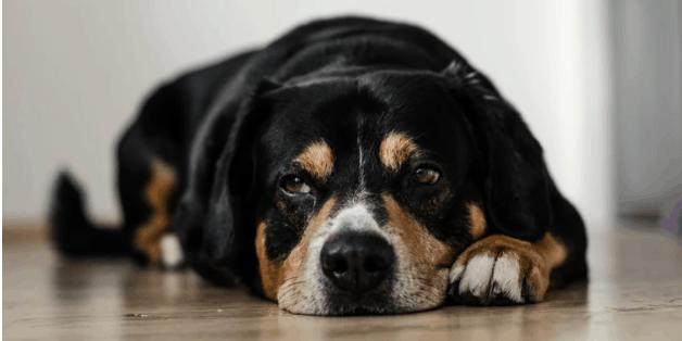 Beagle black and brown coat