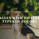 Beagles with Different Types of Colors