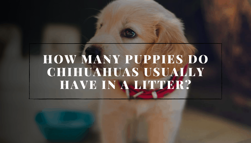 How Many Puppies Do Chihuahuas Usually Have In A Litter?