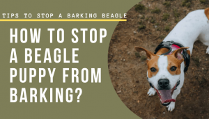 How To Stop A Beagle Puppy From Barking