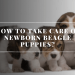 How To Take Care Of Newborn Beagle Puppies?