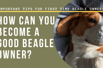 How can You become a good Beagle owner? 7 Important Tips for First Time Beagle Owners