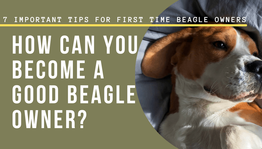 become a good Beagle owner