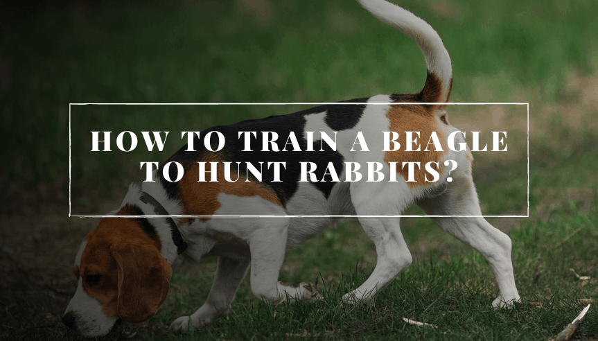 How to Train a Beagle to Hunt Rabbits (1) (1)