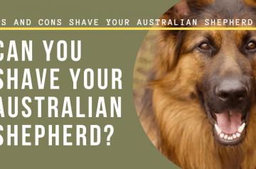 Shave Your Australian Shepherd