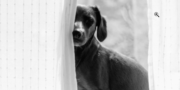 beagle Play Hide-and-Seek