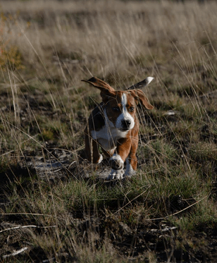 Hunting With Beagles
