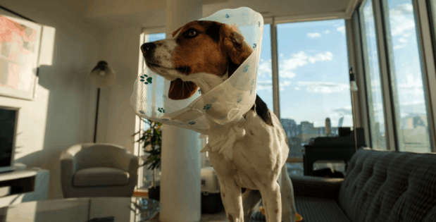 Entertain a Beagle Indoors