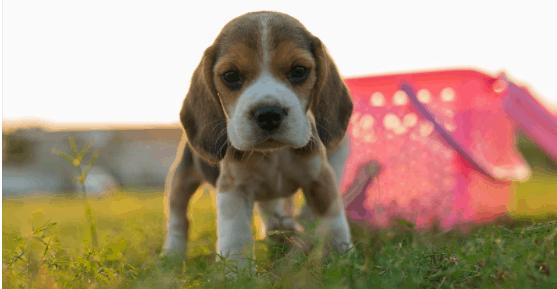 Training a newborn beagle puppy