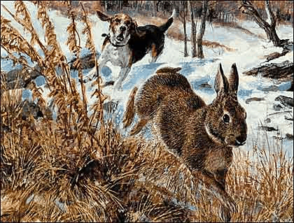 Rabbit Hunting with Great Beagles
