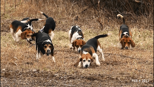 Getting a Beagle Puppy Ready for Rabbit Season